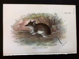 Allen & Lydekker 1890's Print. Common Pouched Mouse, Australia Native
